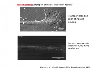 Neuromechanics_Axonal transport